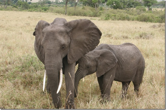 AfricaMasiMaraelephant