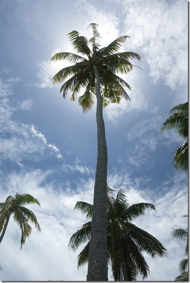 Bora bora palm tree